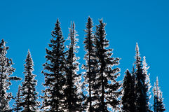 Hoar Frost Silhouette trees. Black and white silhouette outline of hoar frost covered trees on a sunny wintry day Stock Photography