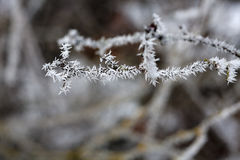 Hoar frost on a small twig. Stock Photos