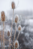Hoar Frost on Thistles royalty free stock photography