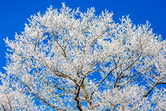 Hoar Frost tree on Blue Stock Image