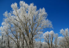 Hoar frost on  trees Royalty Free Stock Photography