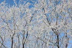 Hoar-frost on willows Royalty Free Stock Photos
