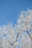 Hoar-frost on willows Stock Images