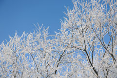 Hoar-frost on willows Stock Image
