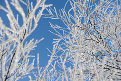 Hoar-frost on willows Stock Photo