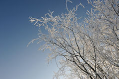 Hoar-frost on willows Stock Photography