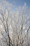 Hoar-frost on willows Royalty Free Stock Photography