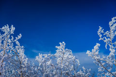 Hoar-frosted branches in the winter forest. Frame-like picture of snowcapped tree tops Royalty Free Stock Photos