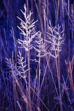 Hoar frosted grasses, wintertime Royalty Free Stock Image