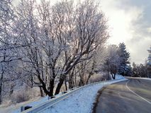 Hoar Frosted Oak Trees in Aspen Glow. This is an image of Hoar Frosted Oak trees on a winter afternoon along Highway 18, nicknamed `Rim of the World Highway`, in Royalty Free Stock Photography
