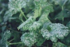 Hoar-geada e folhas verdes congeladas imagens de stock royalty free