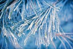 Hoar-geada em agulhas do pinheiro Fotos de Stock Royalty Free