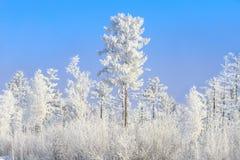 Hoar-geada nas árvores Imagem de Stock