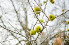 Hoar oszroniejący na dzikich jabłkach Zdjęcia Stock