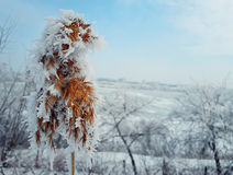 Hoar reed. Hoar frosted dry reed grass in a country garden over the white winter background Stock Image