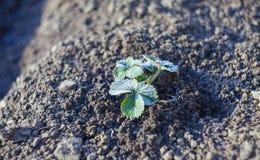 Hoar sulla pianta da frutto della fragola immagini stock