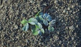 Hoar sulla pianta da frutto della fragola, freddo immagine stock
