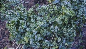 Hoar sulla pianta erba verde congelata immagine stock libera da diritti