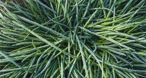 Hoar sur l'usine herbe verte congelée image stock