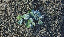 Hoar sur la plante fruitière de fraise, temps froid image stock