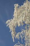 Hoar sur le bouleau comme closeu de l'hiver photos stock