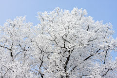 Hoard frost. Hoar frost or a thin snow layer on trees against a blue sky royalty free stock photos