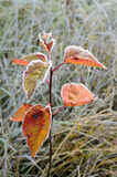 hoarfrost δέντρο μίσχων Στοκ Εικόνα