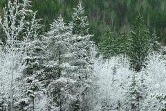 Hoarfrost στα δέντρα πεύκων με κάποιο πράσινο δέντρο πεύκων Στοκ Εικόνες
