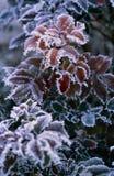 Hoarfrost στα κόκκινα φύλλα μια κρύα ημέρα στοκ φωτογραφίες