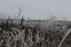 Hoarfrost στα chamomiles Στοκ Εικόνα