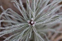 Hoarfrost στο δέντρο πεύκων Στοκ Φωτογραφία
