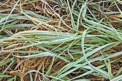 hoarfrost зеленого цвета травы стоковое изображение rf