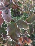 Hoarfrost на листьях стоковое изображение rf