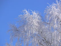 Hoarfrost. Frosted branches in the early morning Royalty Free Stock Image