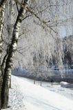 Hoarfrost auf Birkenzweigen Stockfotos