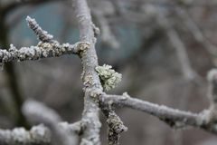 Hoarfrost auf einem Baumzweig Stockfoto