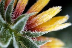 Hoarfrost-Bedeckungblume Stockfotografie