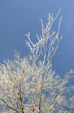 Hoarfrost on birch branches Stock Images