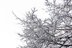 Hoarfrost on Birch branches Stock Photography