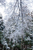 Hoarfrost on Birch branches Stock Image
