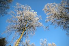 Hoarfrost on birch trees Stock Photo