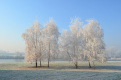 Hoarfrost on birch trees Royalty Free Stock Images