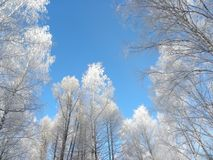 Hoarfrost on birches Stock Photo