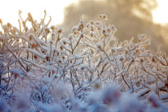 Hoarfrost on branches of bushes Royalty Free Stock Photography