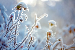 Hoarfrost on branches of bushes Royalty Free Stock Image