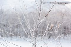 Hoarfrost on the bush. The bush froze in winter. Winter bush in the forest. Frost on the bush Royalty Free Stock Photos
