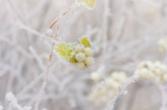 Hoarfrost on the bushes and berries of snowberry Royalty Free Stock Photo