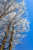 Hoarfrost with cedar Royalty Free Stock Images