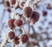 Hoarfrost on Cherries Royalty Free Stock Image
