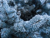 Hoarfrost on coniferous branches stock image